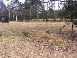 Kangaroos at Euroka campground