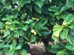 Hawaiian Organic Noni Farm