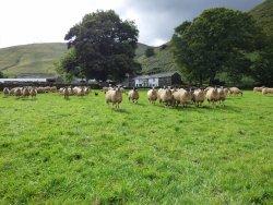 Sheep at Mosedale End Farm B&B and Glamping Pod