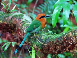 Panama Pipeline Bird Tours
