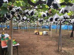 Asamaen Farm