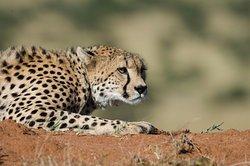 Serengeti Tanzania Safari Cheetah