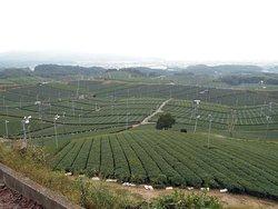 Yame Chuo Tea Garden