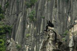 Delacour's Langur in Van Long, The best Vietnam Endangered Species tour