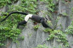 Vietnam Endangered Species Photography Tour. Delacour's Langur in Van Long Wetland Nature Reserv