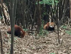 Rare sight of red panda