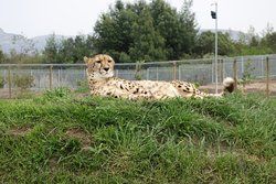 Cheetah Experience Ashia