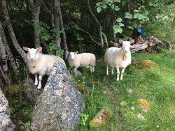 Signe's sheep