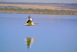 Lake Elementaita is an important breeding ground for pelicans