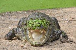 MadrasCrocodileBank