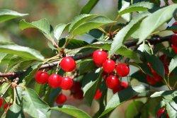 Tree-Mendus Fruit