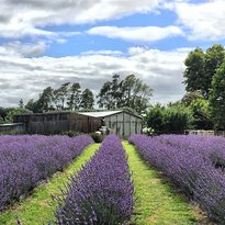 Lavender Backyard Garden