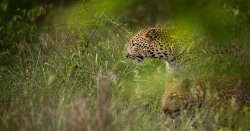 Female leopard and her cub in the Klaserie Nature Preserve-South Africa