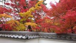 京都賞櫻之旅