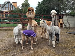 Russian Alpaca Farm
