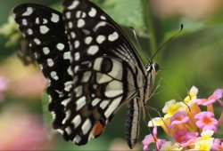 Butterfly - Near Hotel