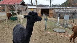 All the alpacas were friendly.
