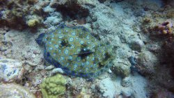 Peacock Flounder, Key Hole Pinnacles, Pitons, 40 ft