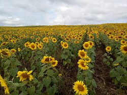 Manee Sorn Sunflower Field