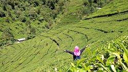 Kaligua Tea Plantation