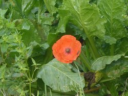A Poppy In the Field Opposite