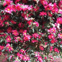 Camellia Forest in Wimi