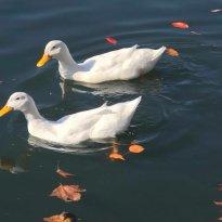 Temecula Duck Pond Park