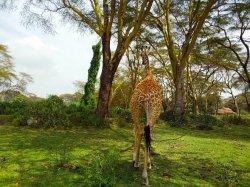 Wild giraffes' & hippos' natural environment