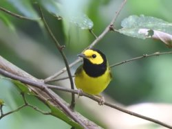Saw this Warbler while walking around the grounds.