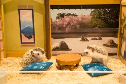 Chiku Chiku Cafe -Hedgehog home and cafe-