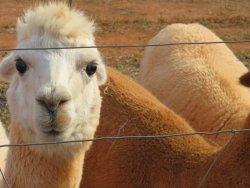 A Goode View Alpaca Farm
