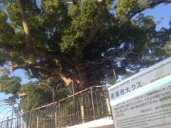 Great Camphor Tree of Zendo-ji Temple