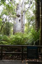 "Te Matua Ngahere ""Father of the forest"" (302416614)"