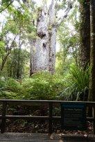 "Te Matua Ngahere ""Father of the forest"" (302416614)"