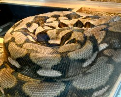 Reticulated python T1!