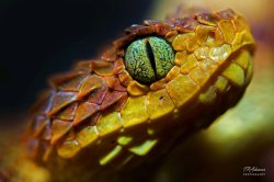 One of our many venomous snakes! Bush Viper