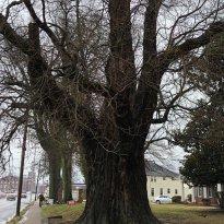 World's Largest Sassafras Tree