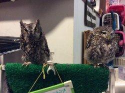 Owl Cafe Cure Owl