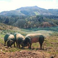 Suhalmendi, Découverte du Porc Basque