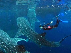 Oslob Whale Shark Watching