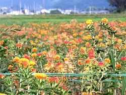 Safflower Field of Takase