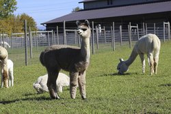 Alpacas at Marquam Hill Ranch