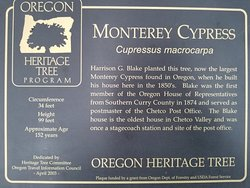 Oregon's Largest Monterey Cypress