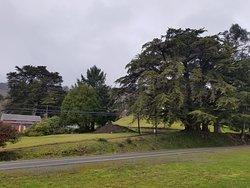 Oregon's Largest Monterey Cypress