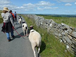 Jacob Sheep Trekking and Farm Experience Days