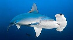Plongée au milieu des requins