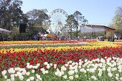 Tulips at Floriade (Canberra, Australia)