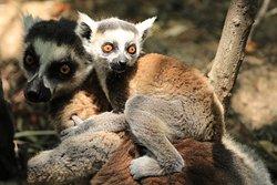 Lemur Tours