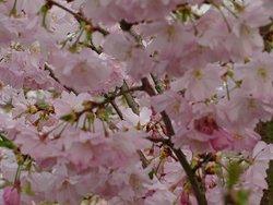 """""""Florapark Haarlem;detail prunus-kersen bloesem"""