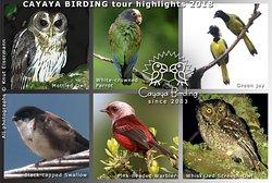 CAYAYA BIRDING tour highlights 2018: Pink-headed Warbler, Green Jay, Black-capped Swallow